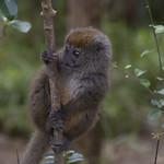 Grauer Bambuslemur_Hapalemur griseus meridionalis-13