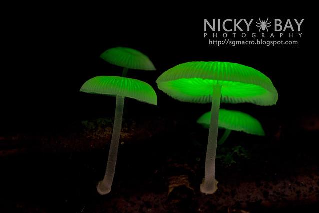 Bioluminescent Fungi (Mycena illuminans?) - DSC_8003