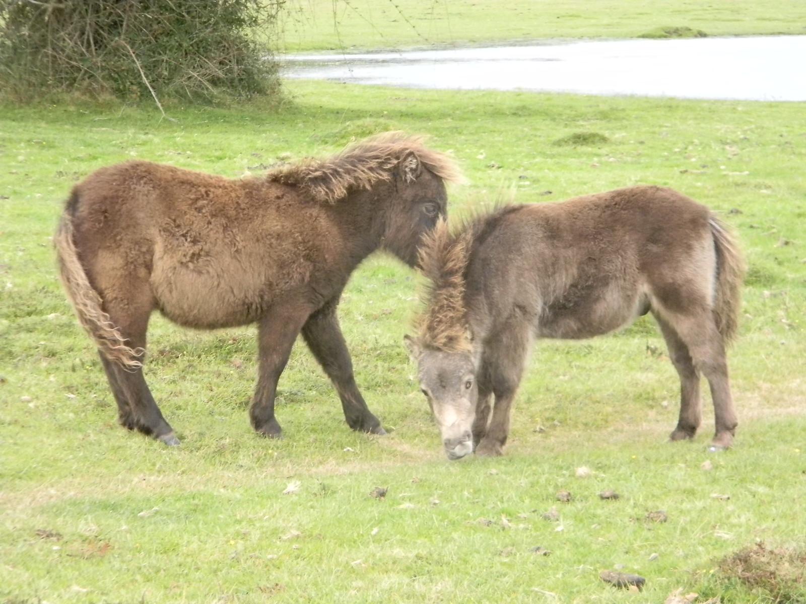 Ponies Brockenhurst Circular