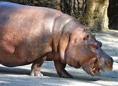 Philadelphia Zoo: Hippopotamus