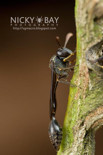 Wasp (Apocrita) - DSC_7277