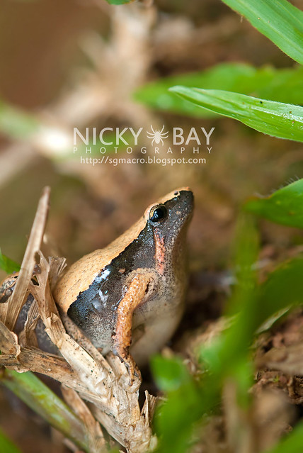 Dark-sided Chorus Frog? (Microhyla heymonsi) - DSC_4878