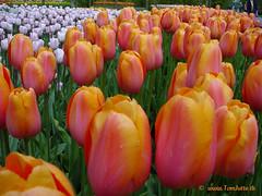 Dutch Tulips, Keukenhof Gardens, Netherlands - 3948