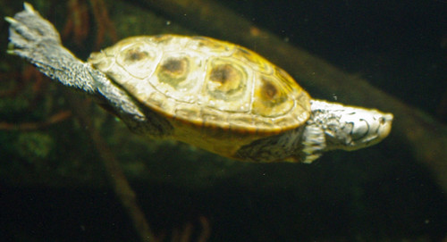 Diamondback terrapin need our help!