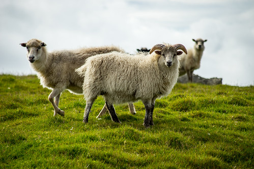 europa faroeislands kirkjubour kirkjubøur schaf streymoy tier sheep fo