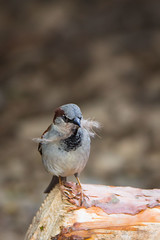 Sparrow with a feather