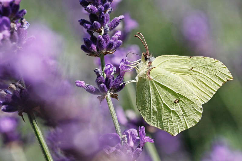 Gonepteryx rhamni Flower Fragility Beauty In Nature Close-up Insect Wildlife I LOVE PHOTOGRAPHY Wanderlust Showcase September Eye Em Nature Lover Butterfly Butterflies Butterfly Collection Color Drawing Lavender Blooming Nectar Summertime EyeEm Best Shots