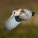 Barn Owl in flight by nigel pye