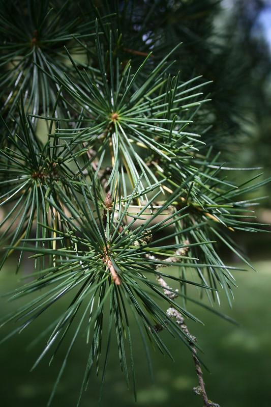 True Cedar