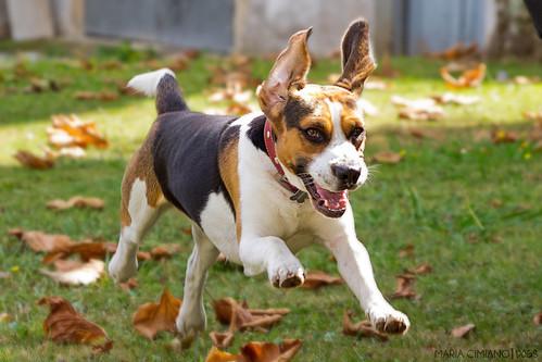 Ozzy, Beagle