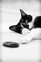 [免费图片素材] 动物 1, 猫, 黑白色 ID:201209101000