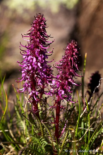 Pedicularis groenlandica by andiwolfe