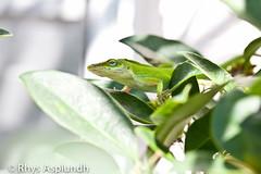 animal, reptile, lizard, green, fauna, dactyloidae, scaled reptile,