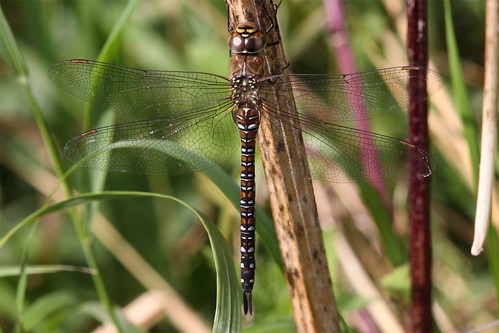 Immature female Migrant hawker