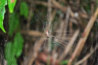 Hay muchos tipos de arácnidos en Tortuguero, hay que tener especial cuidado con las que tejen grandes mallas en medio del camino. Tortuguero - 7950191568 6d649529e9 n - Tortuguero, entre la tranquilidad y la vida salvaje