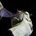 Mediterranean Horsehoe Bat (Roy Taylor)
