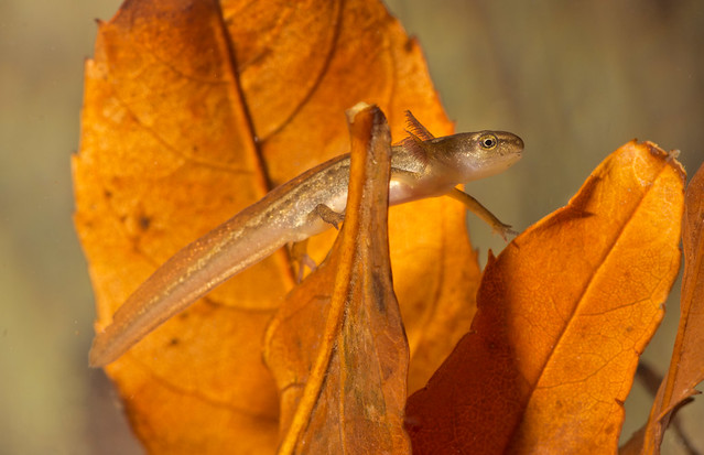 smooth newt tadpole in leaves 3