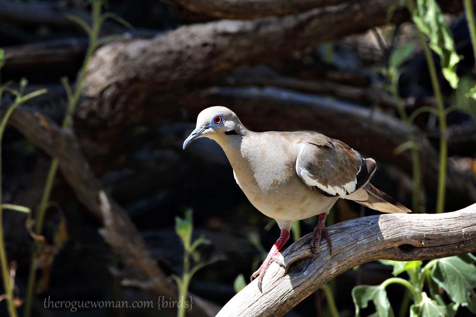 090112_05_bird_ground_whiteWingedDove04