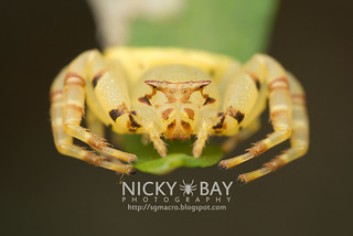 Crab Spider (Thomisus sp.) - DSC_5133