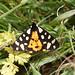 Cream-spot Tiger (Ed Drewitt)