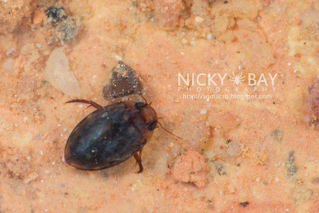 Water Beetle - DSC_3768