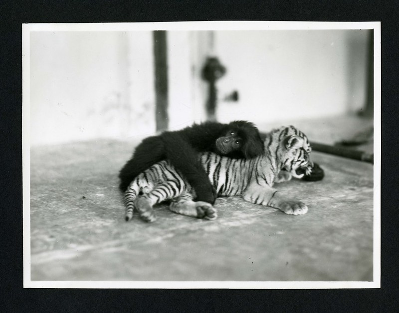 Primate and tiger cub  photographed during the National Geographic Society-Smithsonian Institution Expedition to the Dutch East Indies, 1937