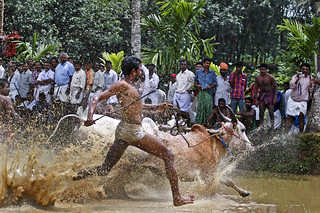 Bull Racing in Kerala - Photo 2