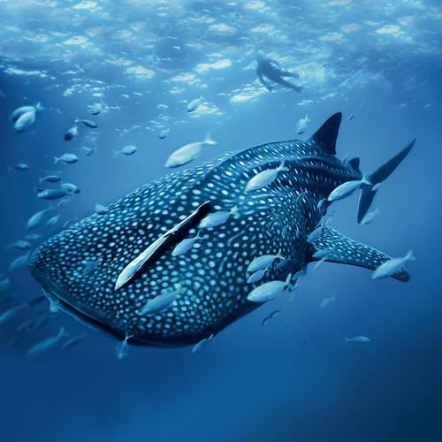 [フリー画像素材] 動物 2, 鮫・サメ, ジンベエザメ ID:201209271000