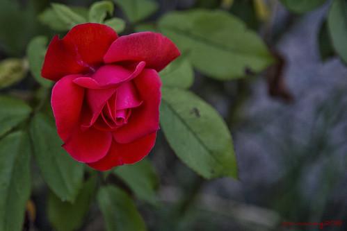 Flores CLXXVI by sairacaz