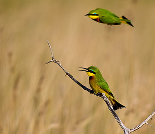 Little Bee-eaters. S-lip...sip-sip sip...