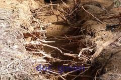 radici di Pino danneggiate