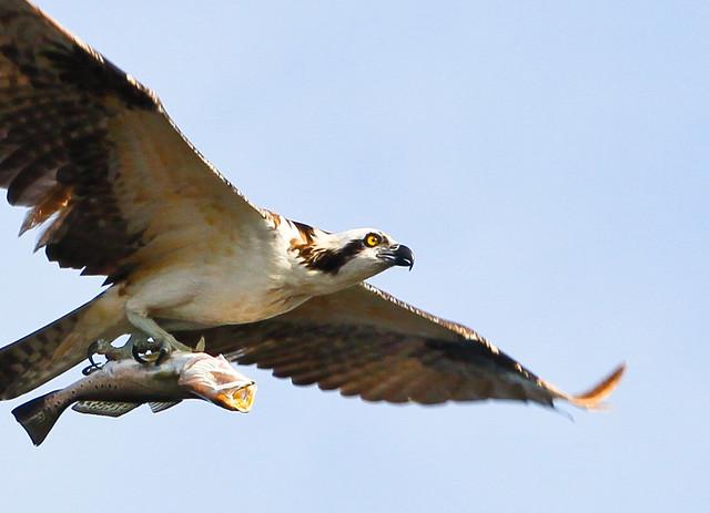 osprey fishlarge-2727