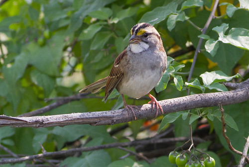 White-throated Sparrow, Camas NWR ID 2012