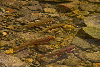 Spawning Cutthroat Trout