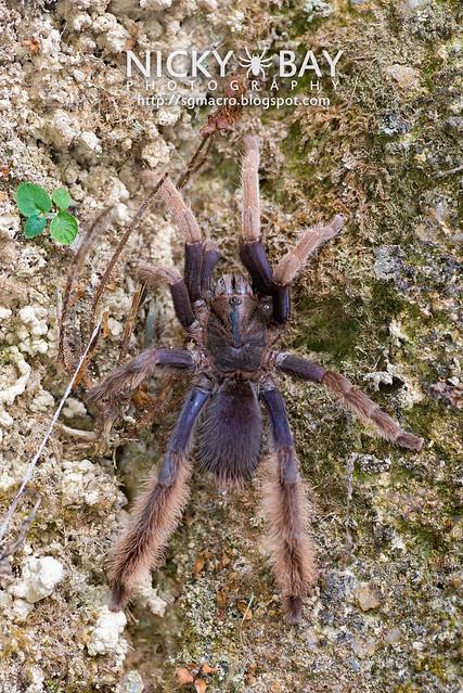 Malaysian Purple Femur Tarantula (Coremiocnemis sp.) - DSC_6006