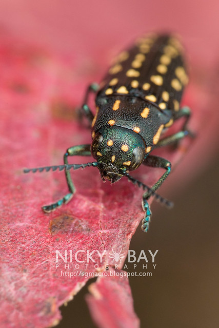 Jewel Beetle (Polyctesis sp.) - DSC_5904