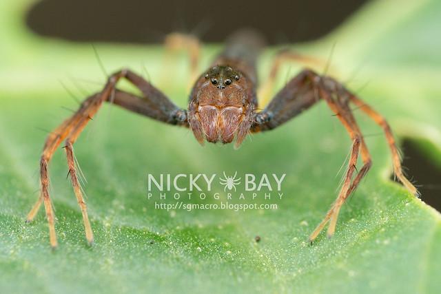 Lynx Spider (Oxyopidae) - DSC_5647