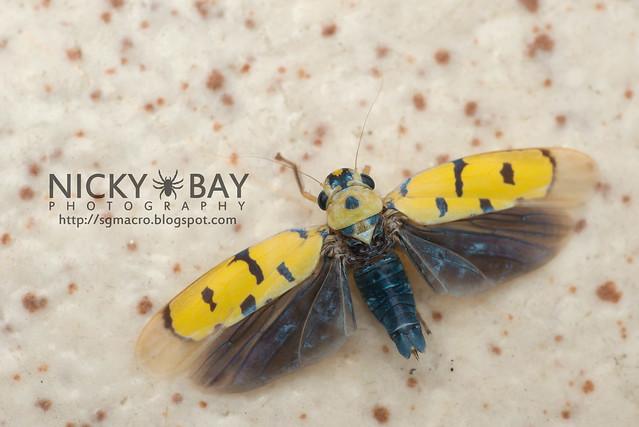 Leafhopper (Cicadellidae) - DSC_5621