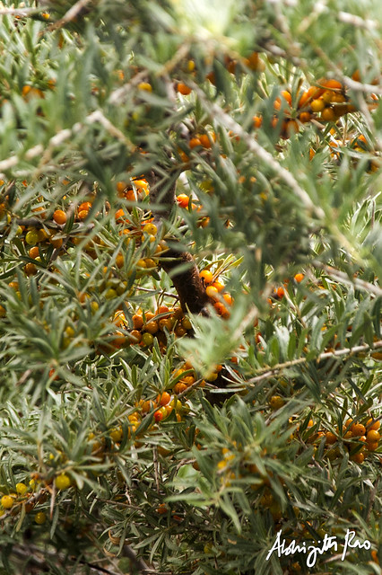 Sea buckthorn flickr photo sharing - Growing sea buckthorn ...