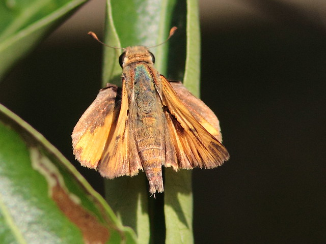 Small skipper poss Fiery 20120927