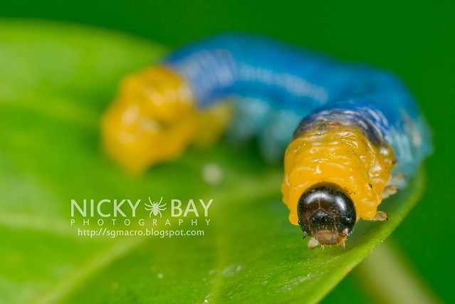 Sawfly larva (Symphyta) - DSC_9694