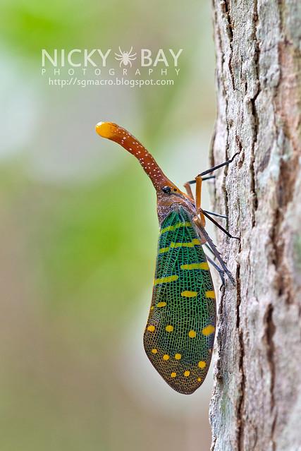 Lantern Bug (Pyrops intricata) - DSC_9118
