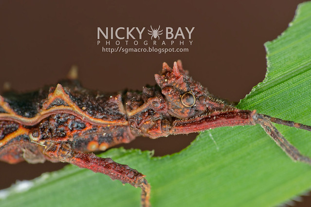 Stick Insect (Phasmatodea) - DSC_8779