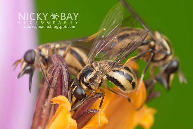 Hoverfly (Graptomyza sp.) - DSC_8314
