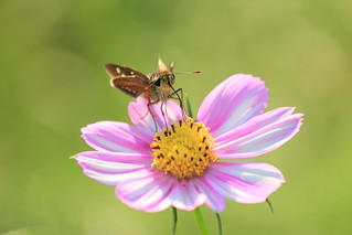 Insect on a cosmos / 蜜を吸いに