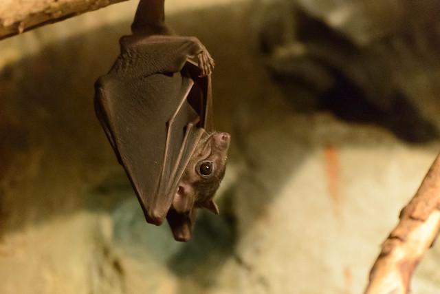 fruit bat hanging