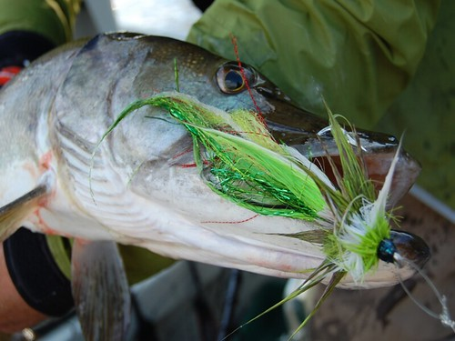 10 Tips for Catching a Musky on a Fly - Orvis News
