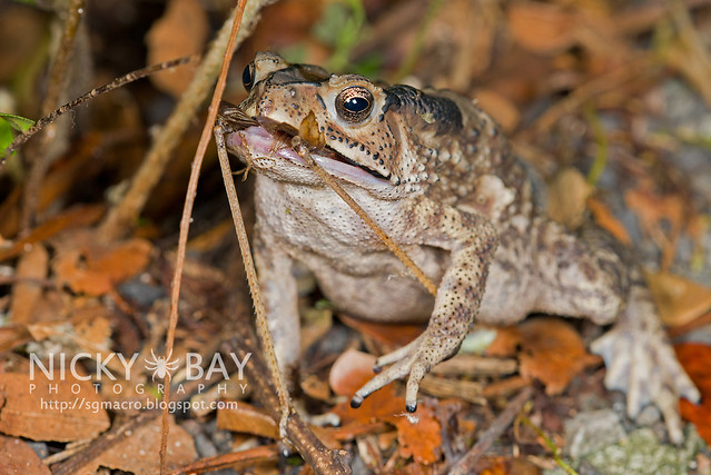 Toad with prey - DSC_7486