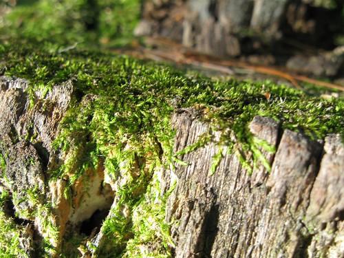 Sunny Moss on Stump