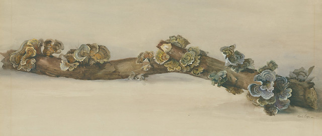 Eloise Payne Luquer, Turkey Tail, Trametes versicolor, 1901. Watercolor and gouache on paper.